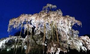 【No.6】夜桜満開