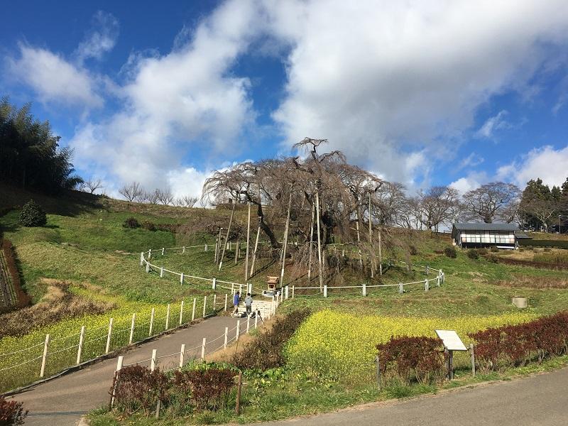 菜の花が秋に咲く!狂い咲きの菜の花に囲まれる滝桜